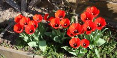 Tulpenversammlung am Rosenstock