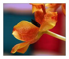 Tulpenversuch