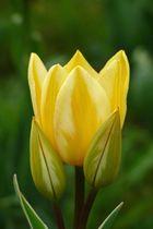 Tulpenvielfalt im Dycker Schlossgarten 15