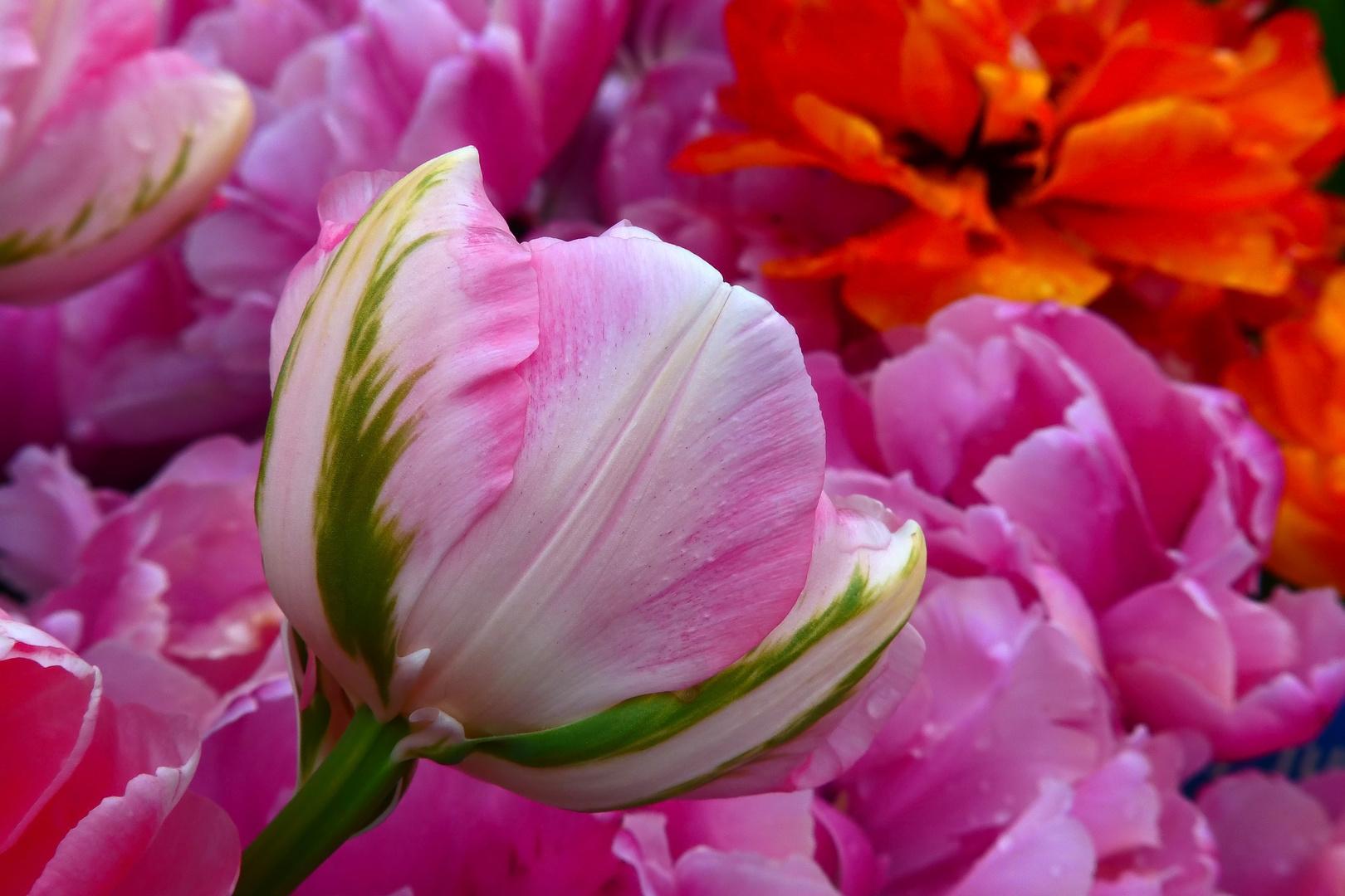 Tulpenvielfalt im Dycker Schlossgarten 29