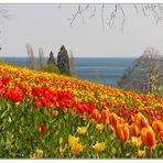 Tulpenwiese 3