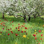 Tulpenwiese zur Baumblüte