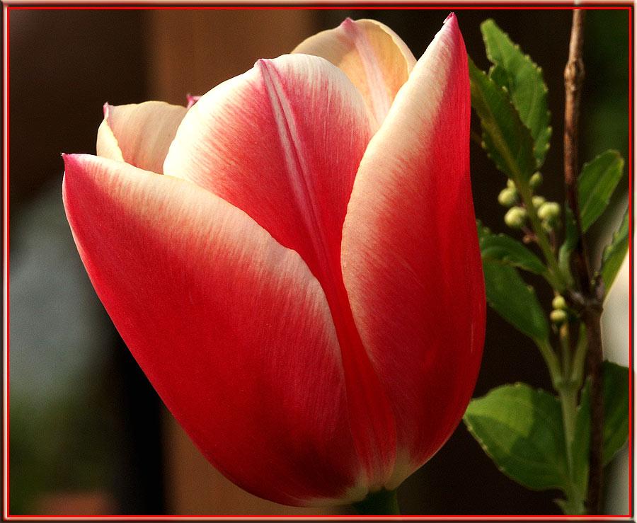 Tulpe...voll im Bild