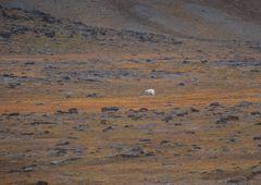 Tundra mit wanderndem Eisbär