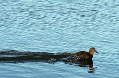 Turbo-Ente im Steinhuder Meer