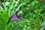 Turdus merula - unterwegs zum Nestbau