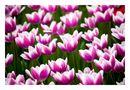 Tulips of the 2014 #3 by Tad Kanazaki
