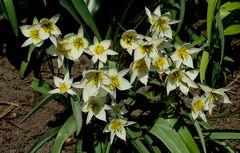 Turkestanische Tulpe (Tulipa turkestanica)...