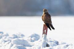 Turmfalke  (Falco tinnunculus) am Morgen