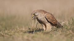 Turmfalke (Falco tinnunculus) beim Dinner...
