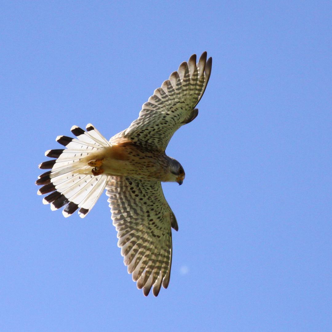 Turmfalke (Falco tinnunculus) - männlich | rüttelnd