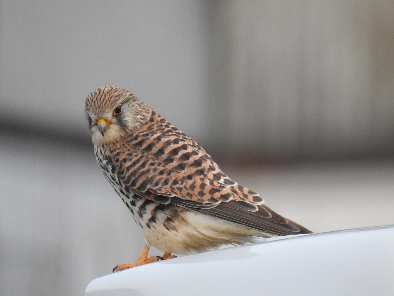 Turmfalke (Falco tinnunculus) Nikon P900