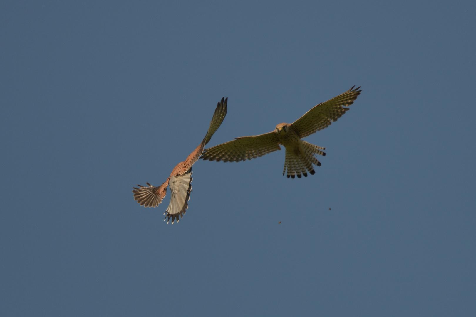 Turmfalke (Falco tinnuncutus) 06-2017 GB2_7591-2