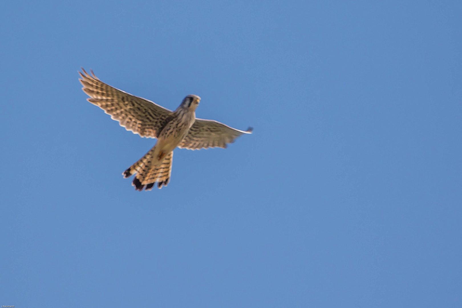 turmfalke im flug foto  bild  tiere wildlife wild