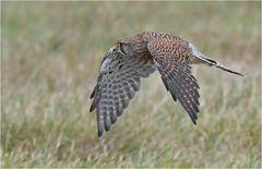Turmfalke - Weibchen