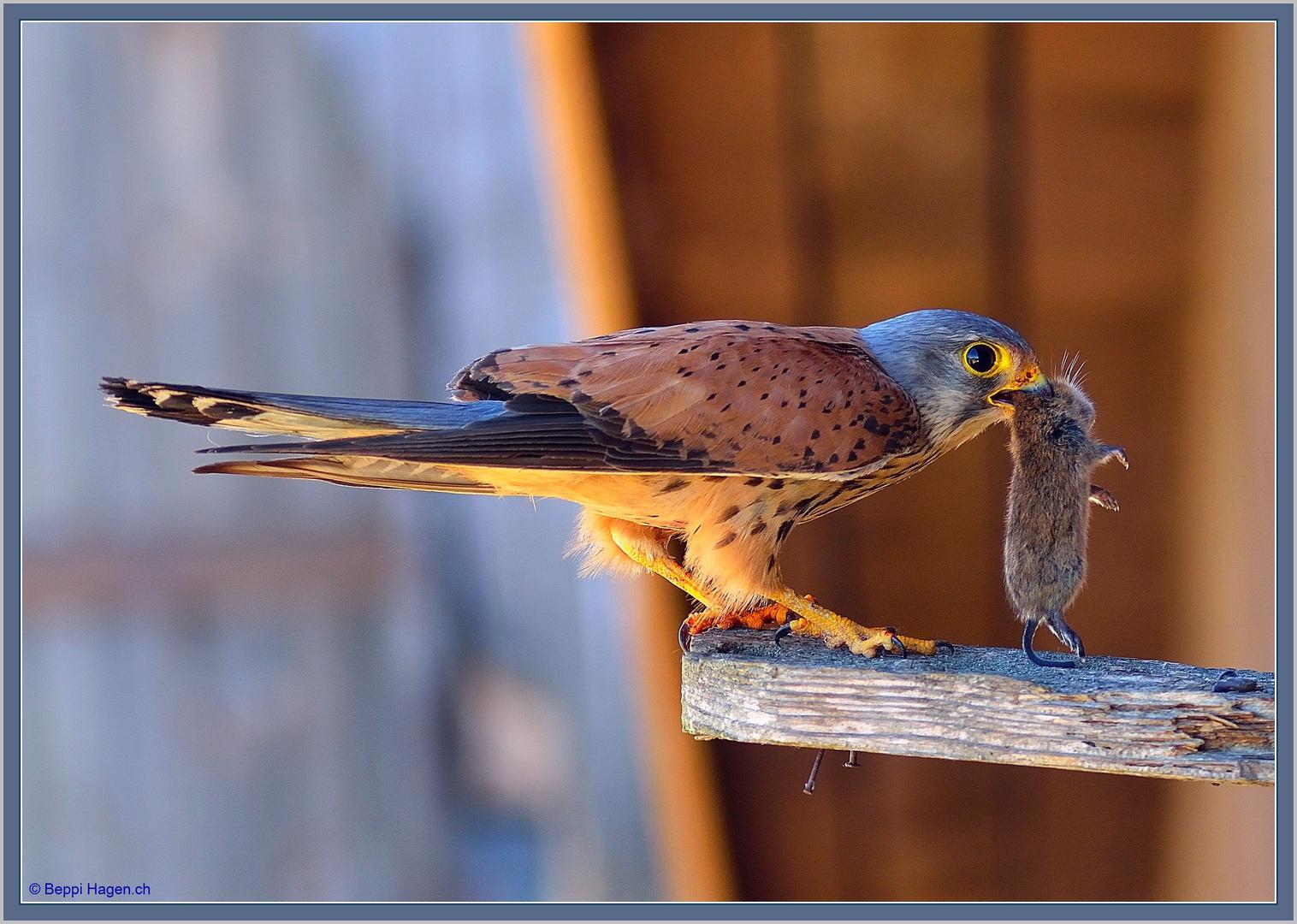 Turmfalken Faucon Crécerelle Gheppio comune  02 B. Hagen ©