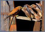 Turmfalken Faucon Crécerelle Gheppio comune 05 Falco tinnunculus ©