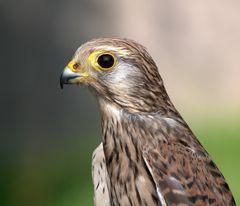 Turmfalkenportrait (falco tinnunculus) *hautnah*