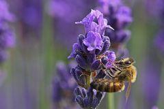"""""""Turnübung"""" der Biene am Lavendel"""