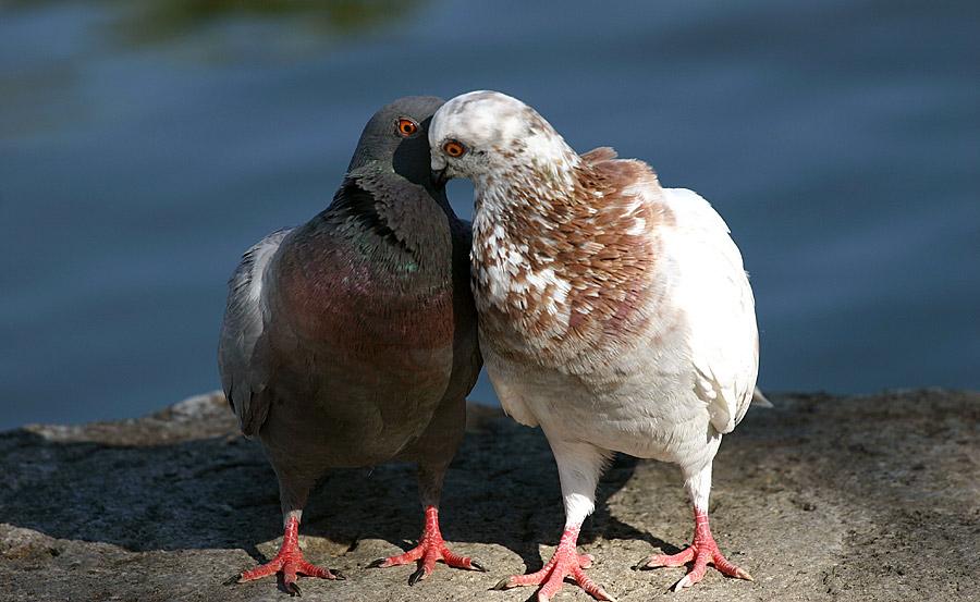 Turtelnde Tauben