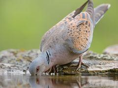 Turteltaube / Turtle dove