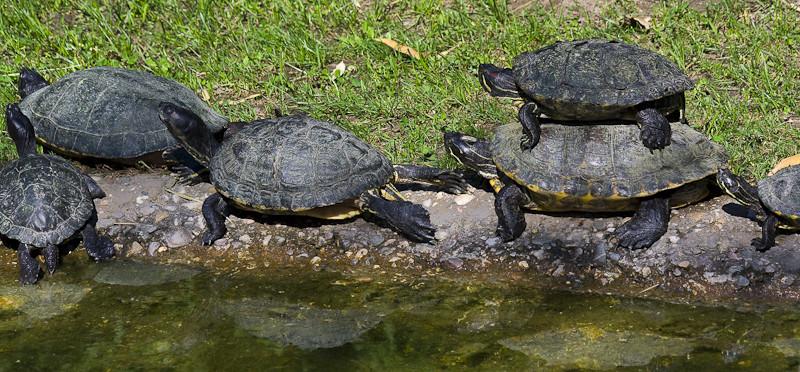 Turtle Jam