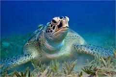 ~ Turtle Taube ~