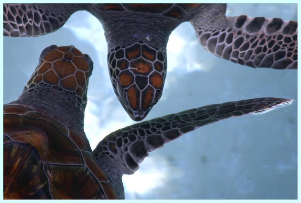 Turtles die turteln