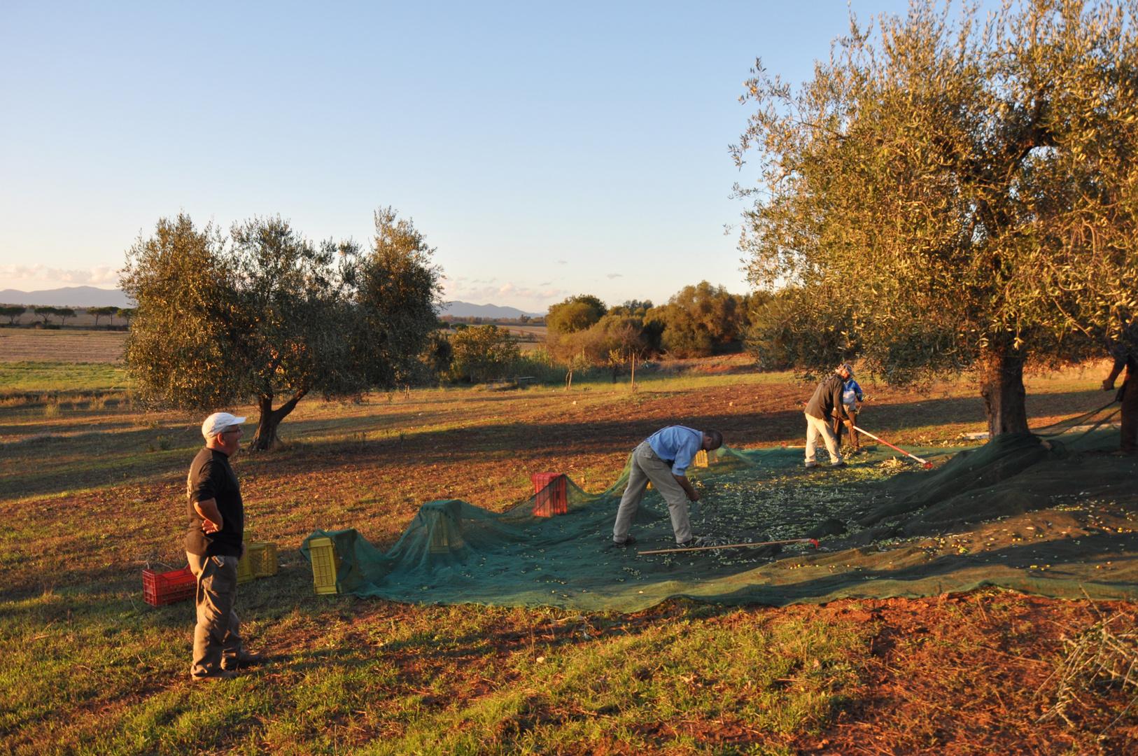Tutti alla raccolta di olive....