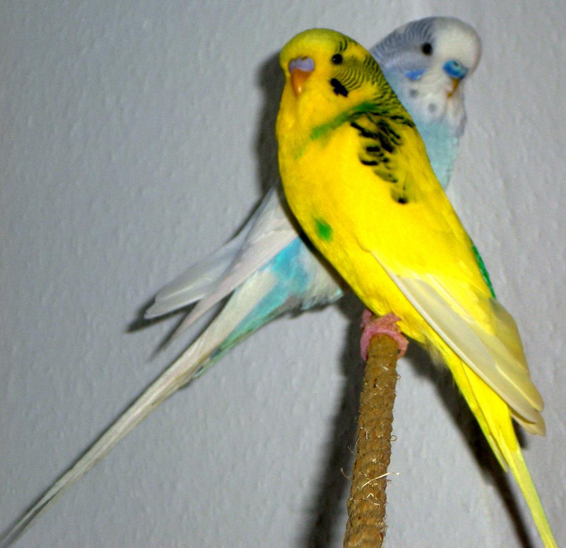 Tweety(gelb) & Paul