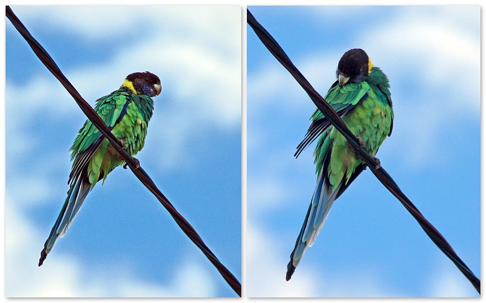 ..Twenty-Eight Papagei..