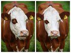 Twinkle twinkle little cow