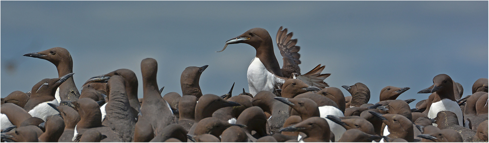 Two Common Murre with fish   . . .