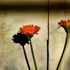 Two flowers of gerbera daisy