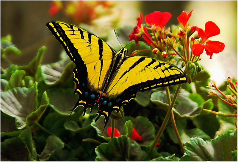 Two-tailed Western Tiger Swallowtail