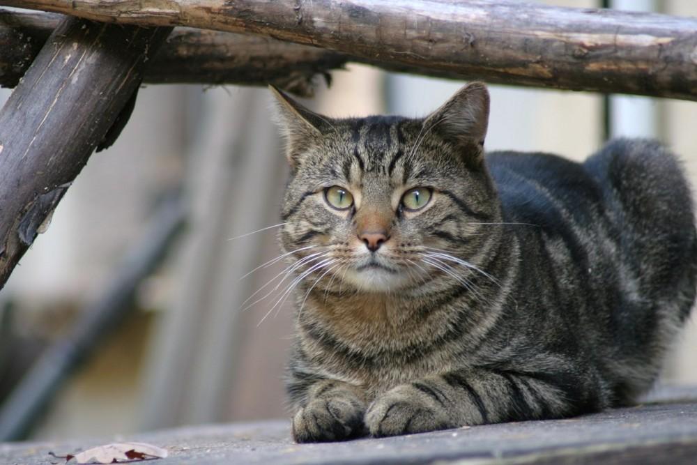 Typich Katze