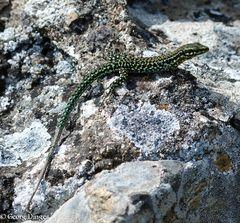 Tyrrhenische Mauereidechse (Korsika 26.5.14)
