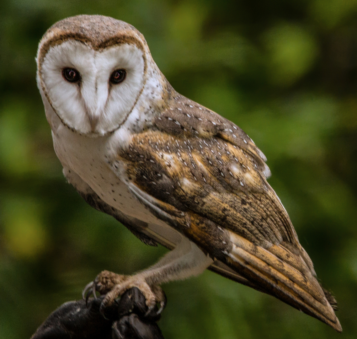 Tyto alba / Barn Owl