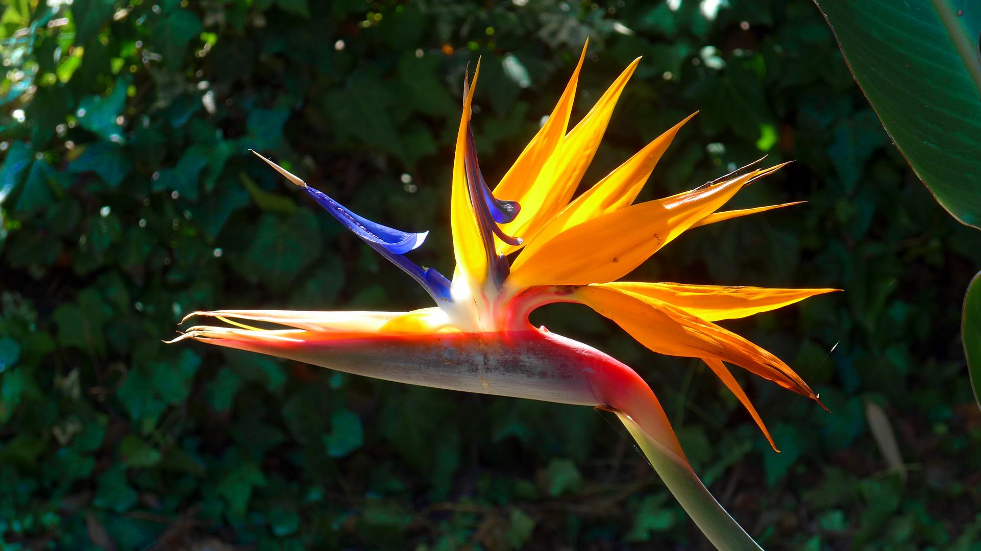 Fiori Uccelli Del Paradiso.Uccello Del Paradiso Sterlitzia Foto Immagini Fiori Piante