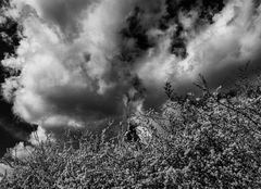Über dem blühenden Schwarzdorn