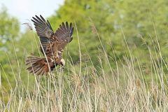 Über dem Nest - Rohrweihe