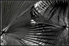über die tatsächliche Annäherung zweier Palmblätter an einem Tag im Oktober
