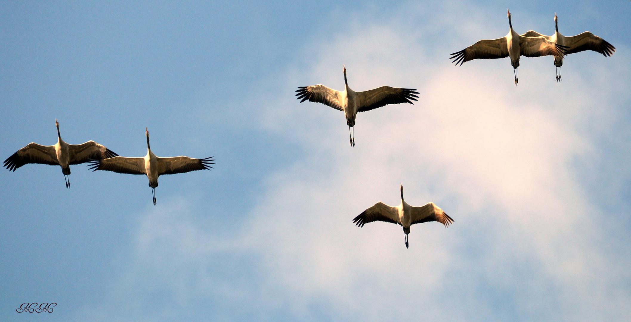 Überflug der Kraniche