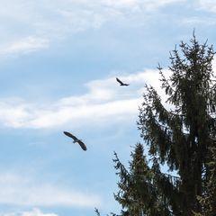 Überflug und Flucht vor dem Raben