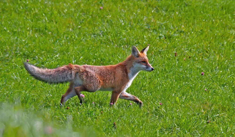 Überraschende Begegnung mit einem Fuchs. - Le renard m'a surpris...