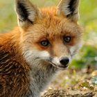 Überraschter Fuchs