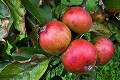 Überreife Äpfel, die keine Abnehmer mehr finden!