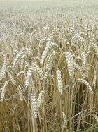 """"""" Überreifer Weizen noch am Halm """""""