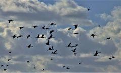 Übungsflug der Kraniche