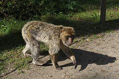 Ueckermünde, Affe nimmt mir den Vortritt